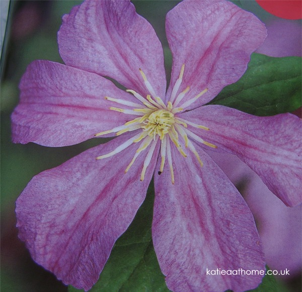 Planting a Clematis - making a feature